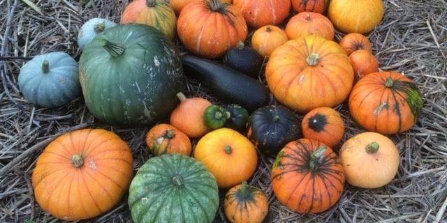 thumbnail_IMG_0633 pumpkins